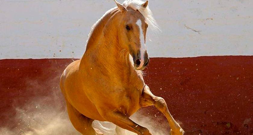 QUEDADO AP II, PRE Palomino Stallion.